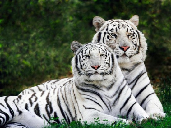 1248255447White_Bengal_Tigers