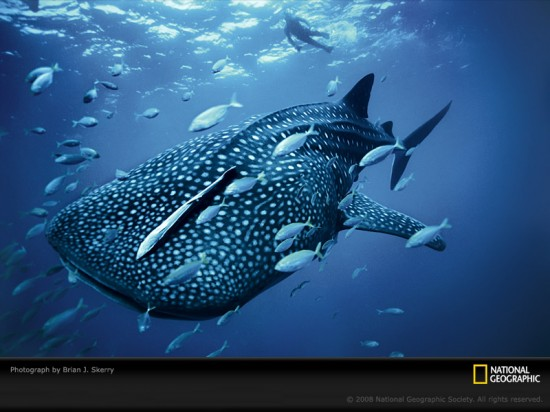 blue-whale-shark-skerry-1099815-sw