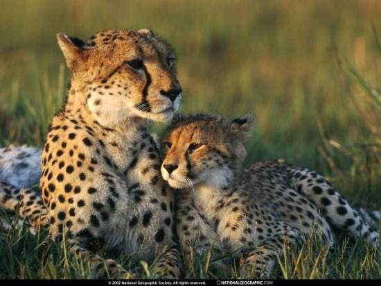 cheetah-mom-and-cub-642816-lw