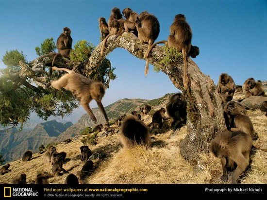 gelada-monkeys