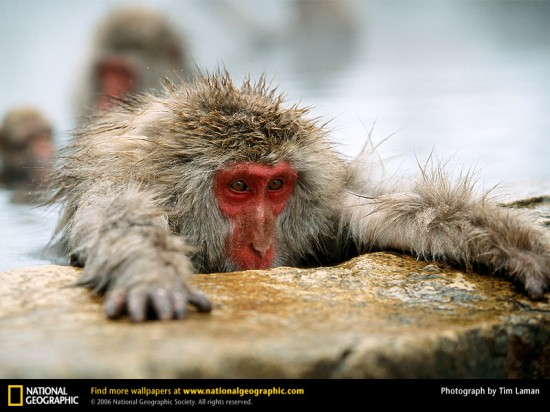 japanese-macaque-hotspring
