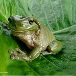 plus-belles-images-grenouille-national-geographic-wallpaper