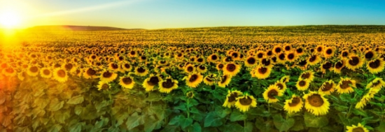 tournesol champ couverture facebook cover 550x189 Couverture Facebook : nature, montagne, vacances